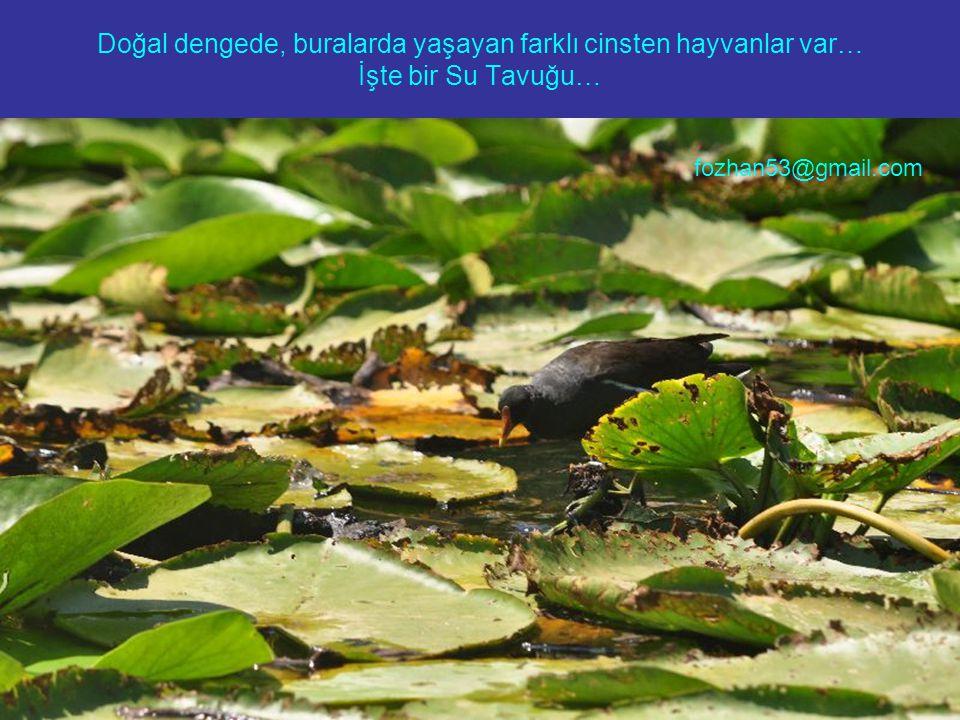 Doğal dengede, buralarda yaşayan farklı cinsten hayvanlar var… İşte bir Su Tavuğu… fozhan53@gmail.com