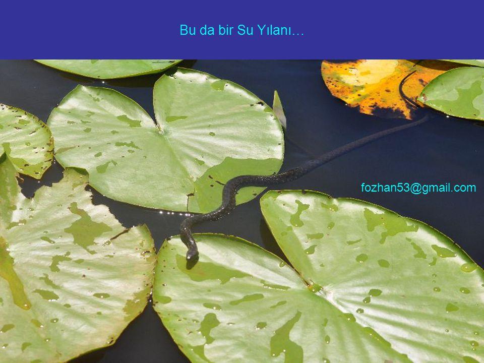 Bu da bir Su Yılanı… fozhan53@gmail.com
