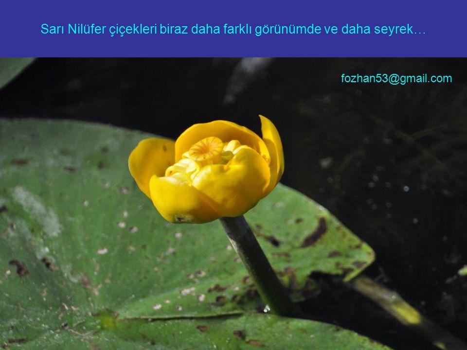 Sarı Nilüfer çiçekleri biraz daha farklı görünümde ve daha seyrek… fozhan53@gmail.com
