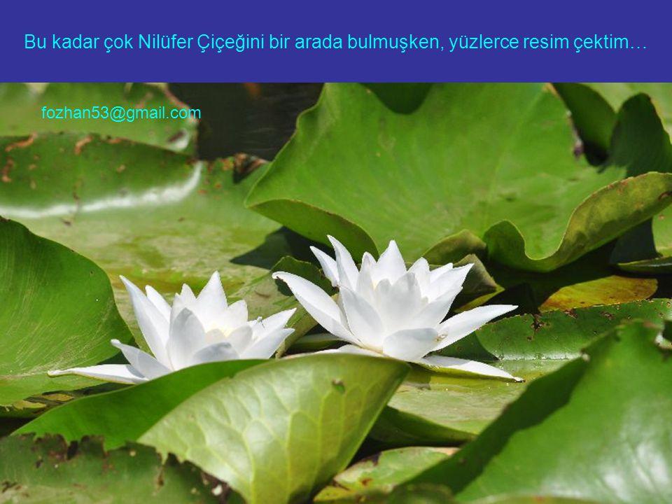 Bu kadar çok Nilüfer Çiçeğini bir arada bulmuşken, yüzlerce resim çektim… fozhan53@gmail.com
