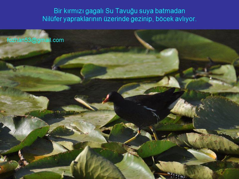 Bir kırmızı gagalı Su Tavuğu suya batmadan Nilüfer yapraklarının üzerinde gezinip, böcek avlıyor. fozhan53@gmail.com