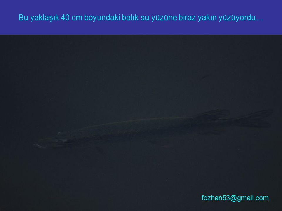 Bu yaklaşık 40 cm boyundaki balık su yüzüne biraz yakın yüzüyordu… fozhan53@gmail.com