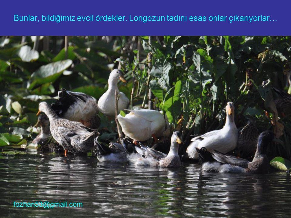Bunlar, bildiğimiz evcil ördekler. Longozun tadını esas onlar çıkarıyorlar… fozhan53@gmail.com