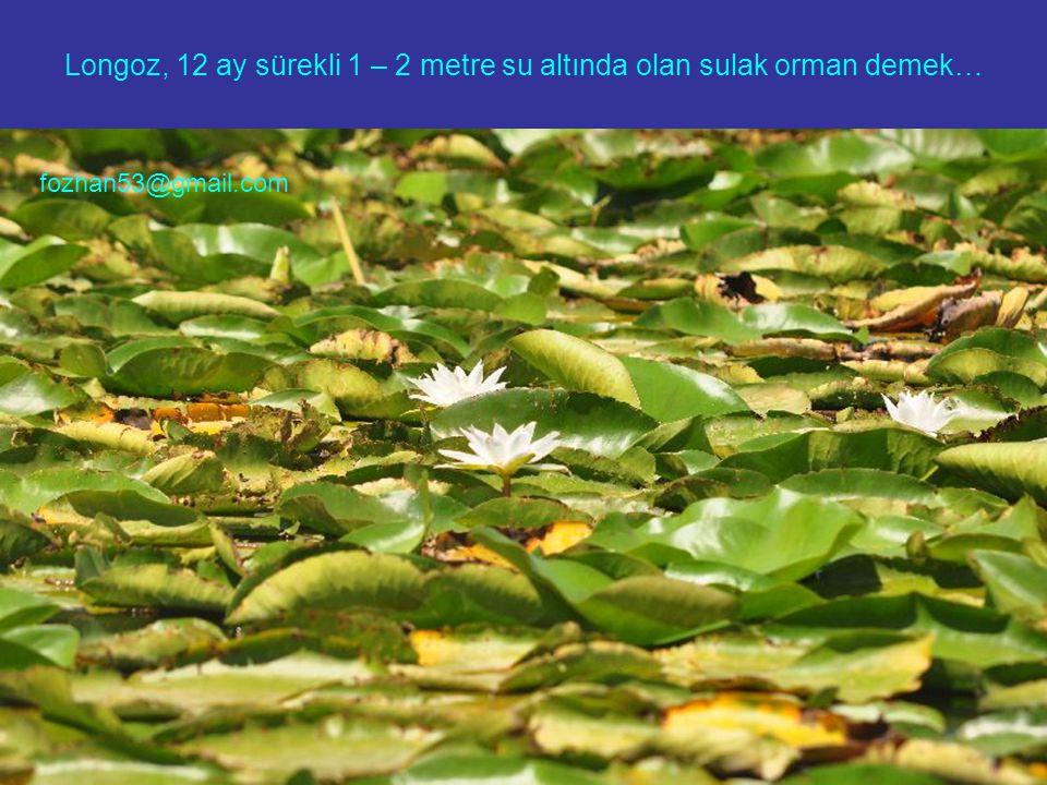 Longoz, 12 ay sürekli 1 – 2 metre su altında olan sulak orman demek… fozhan53@gmail.com