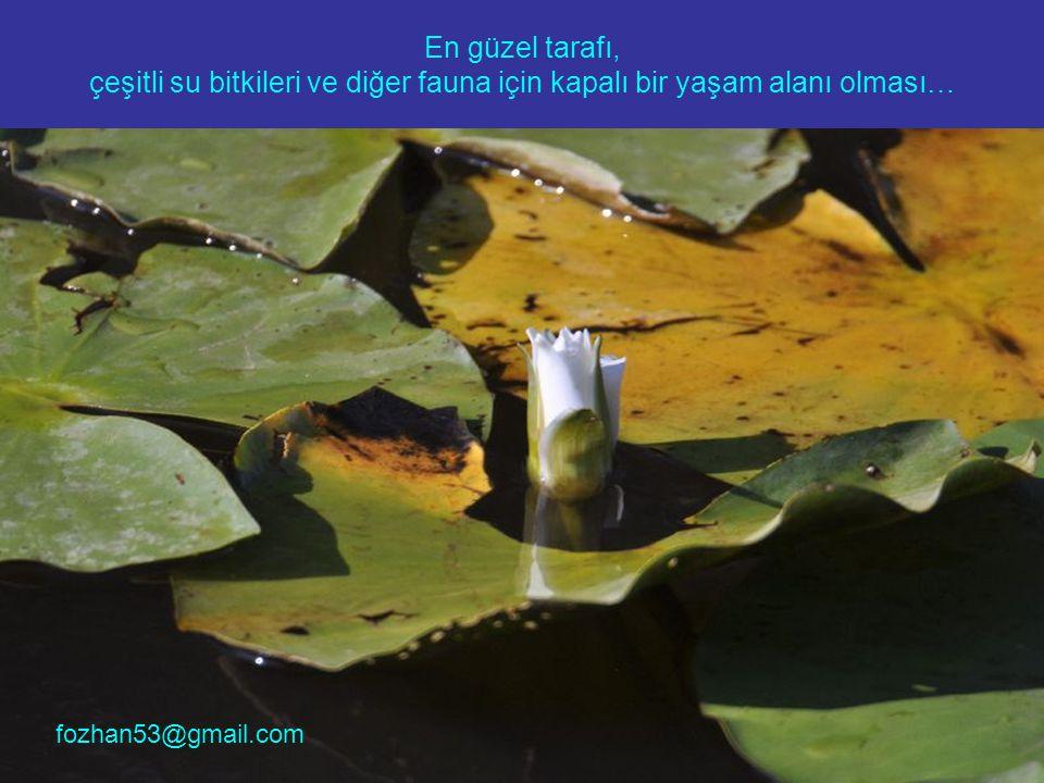 En güzel tarafı, çeşitli su bitkileri ve diğer fauna için kapalı bir yaşam alanı olması… fozhan53@gmail.com