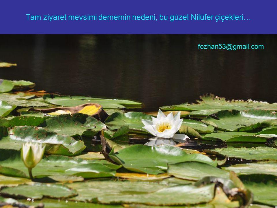 Tam ziyaret mevsimi dememin nedeni, bu güzel Nilüfer çiçekleri… fozhan53@gmail.com