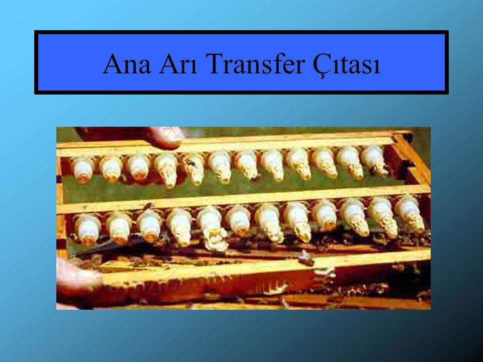Ana Arı Transfer Çıtası