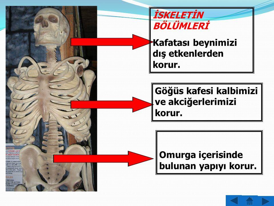 İSKELETİN BÖLÜMLERİ Kafatası Göğüs Kafesi Omurga Kollar ve Bacaklar Olmak üzere 4 kısımdan oluşur.