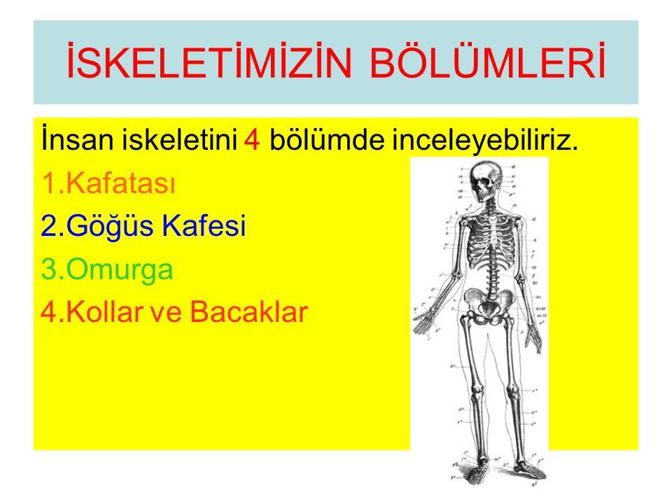 İSKELETİMİZİN BÖLÜMLERİ İnsan iskeletini 4 bölümde inceleyebiliriz. 1.Kafatası 2.Göğüs Kafesi 3.Omurga 4.Kollar ve Bacaklar
