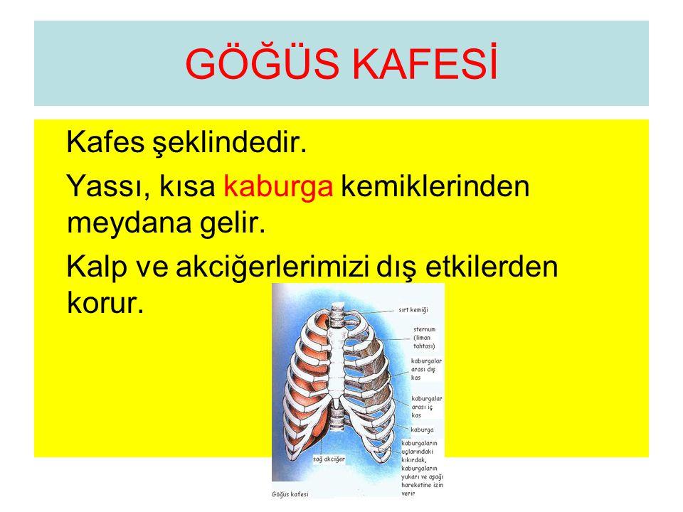 GÖĞÜS KAFESİ Kafes şeklindedir. Yassı, kısa kaburga kemiklerinden meydana gelir. Kalp ve akciğerlerimizi dış etkilerden korur.