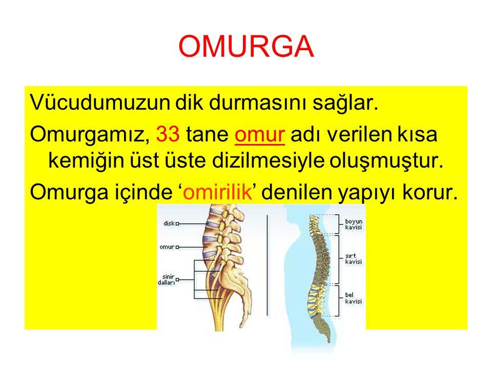 OMURGA Vücudumuzun dik durmasını sağlar. Omurgamız, 33 tane omur adı verilen kısa kemiğin üst üste dizilmesiyle oluşmuştur. Omurga içinde 'omirilik' d