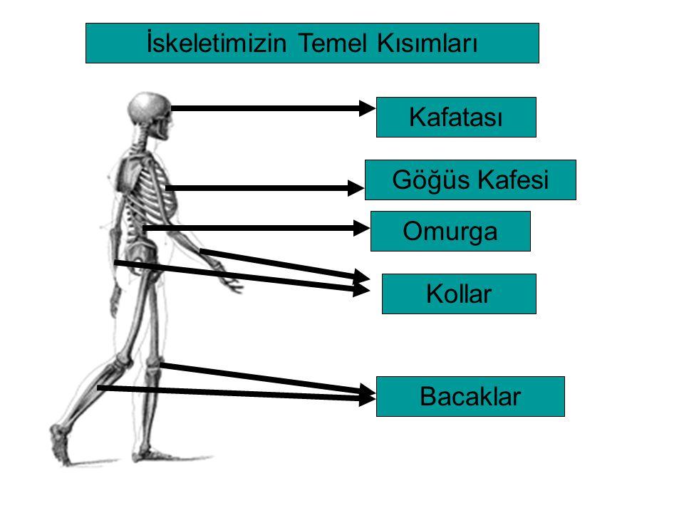 İskeletimizin Temel Kısımları KafatasıGöğüs KafesiOmurga Kollar Bacaklar