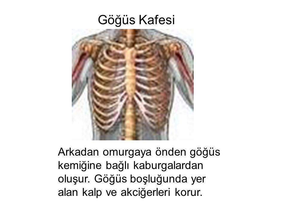 Göğüs Kafesi Arkadan omurgaya önden göğüs kemiğine bağlı kaburgalardan oluşur. Göğüs boşluğunda yer alan kalp ve akciğerleri korur.