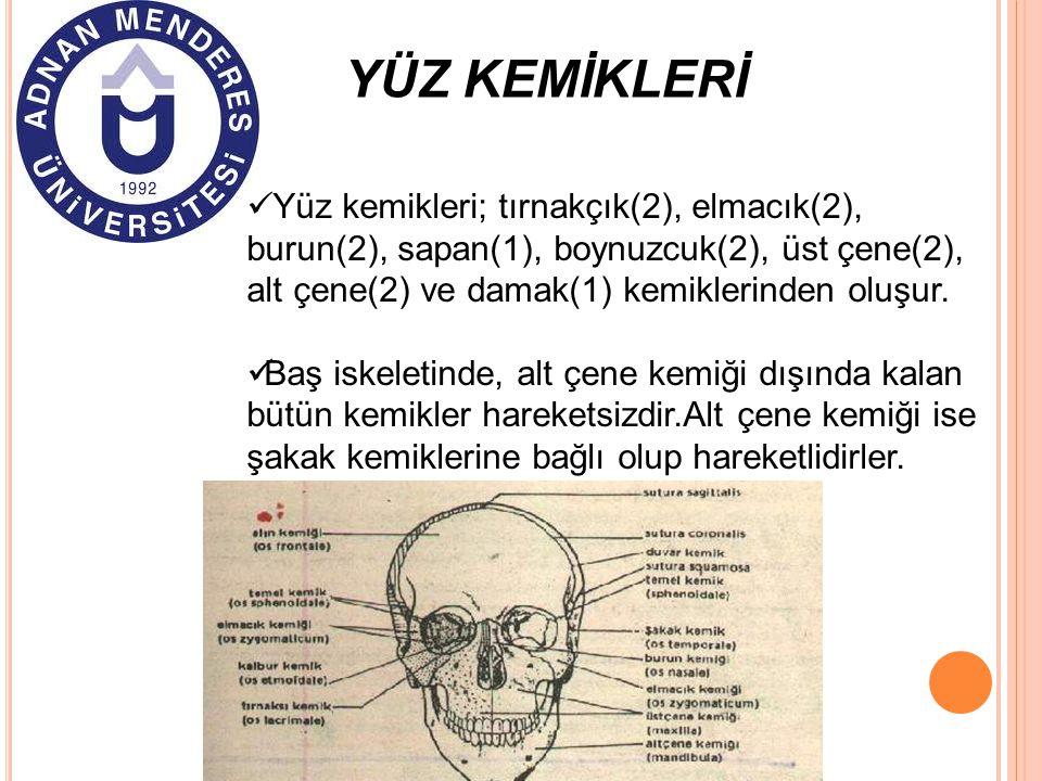 YÜZ KEMİKLERİ Yüz kemikleri; tırnakçık(2), elmacık(2), burun(2), sapan(1), boynuzcuk(2), üst çene(2), alt çene(2) ve damak(1) kemiklerinden oluşur. Ba