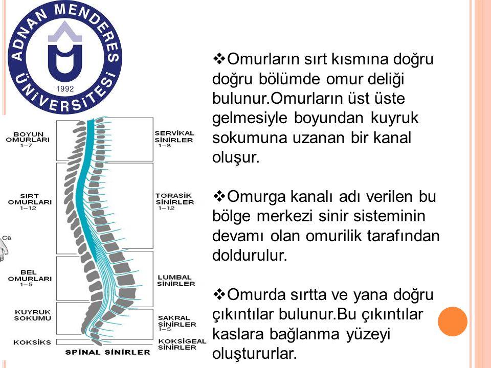OOmurların sırt kısmına doğru doğru bölümde omur deliği bulunur.Omurların üst üste gelmesiyle boyundan kuyruk sokumuna uzanan bir kanal oluşur. OO