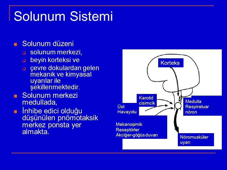 … İşlev Solunum sisteminin/akciğerlerin işlevi: ventilasyon, gaz değişimi (Oksijen alımı ve Karbon dioksit atımı) O 2 : yaşamsal metabolizma/enerji üretimi/ATP/oksidatif fosforilasyon CO 2 : metabolizma >>> solunum merkezini uyarır