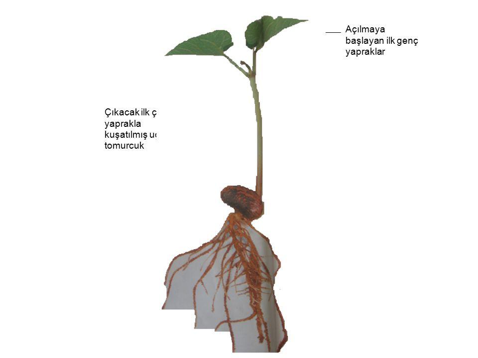 Açılmaya başlayan ilk genç yapraklar Çıkacak ilk çift yaprakla kuşatılmış uç tomurcuk