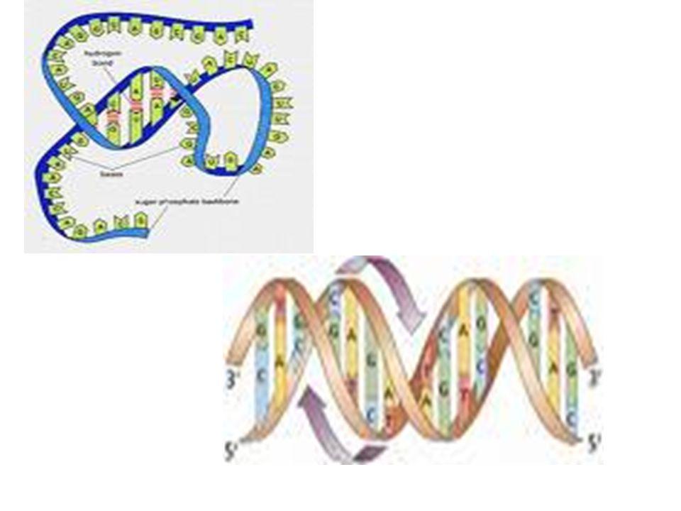 RNA RNA yı oluşturan kimyasal gruplar.