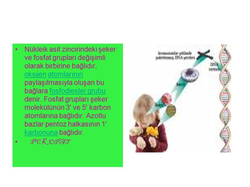 Nükleik asit zincirindeki şeker ve fosfat grupları değişimli olarak birbirine bağlıdır, oksijen atomlarının paylaşılmasıyla oluşan bu bağlara fosfodiester grubu denir.