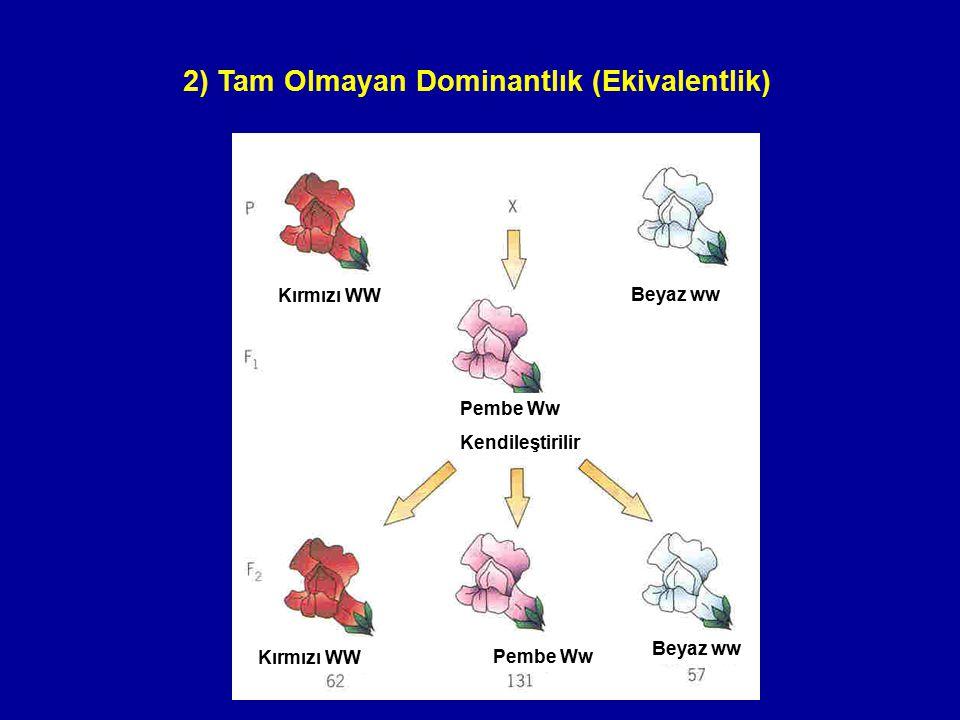 2) Tam Olmayan Dominantlık (Ekivalentlik) Kırmızı WW Beyaz ww Pembe Ww Kendileştirilir Pembe Ww Beyaz ww