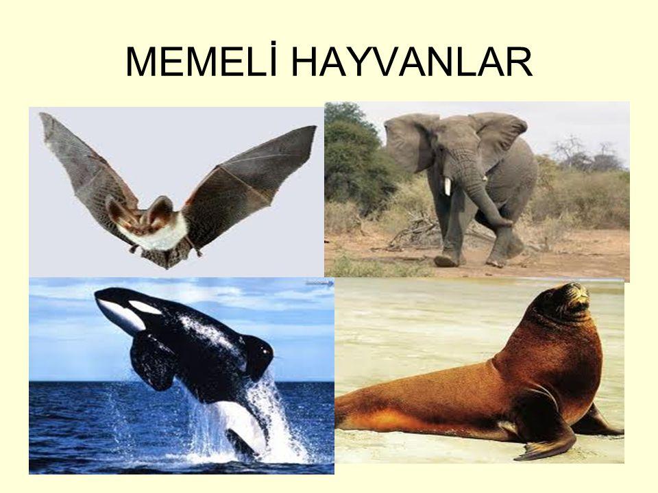 MEMELİ HAYVANLAR