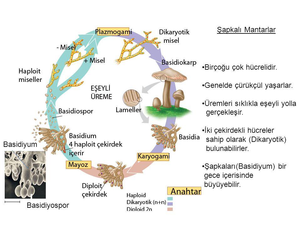 Şapkalı Mantarlar Birçoğu çok hücrelidir.Genelde çürükçül yaşarlar.