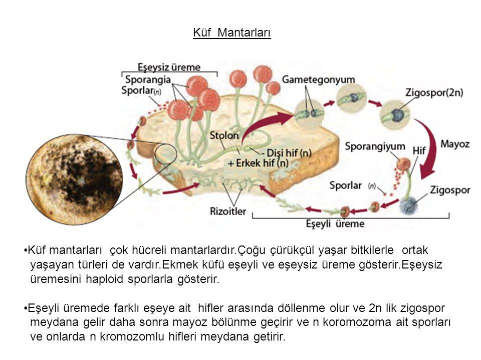 Küf mantarları çok hücreli mantarlardır.Çoğu çürükçül yaşar bitkilerle ortak yaşayan türleri de vardır.Ekmek küfü eşeyli ve eşeysiz üreme gösterir.Eşeysiz üremesini haploid sporlarla gösterir.