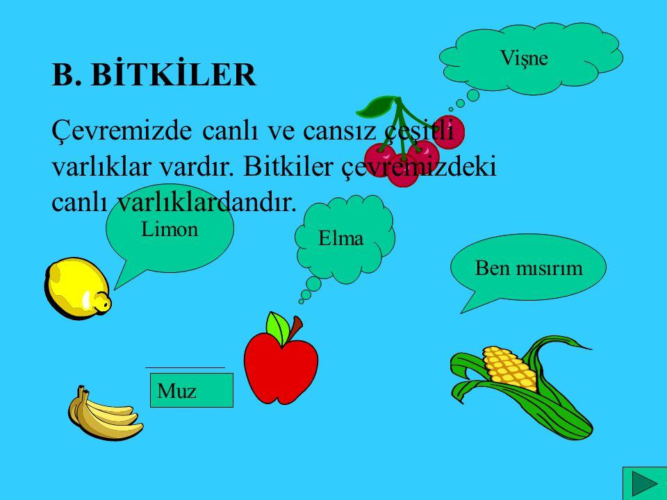 Limon B. BİTKİLER Çevremizde canlı ve cansız çeşitli varlıklar vardır. Bitkiler çevremizdeki canlı varlıklardandır. Ben mısırım Vişne Elma Muz
