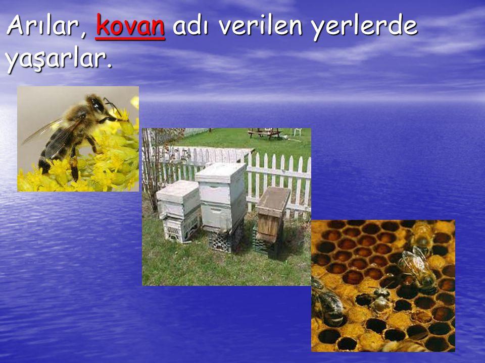 Arılar, kovan adı verilen yerlerde yaşarlar.