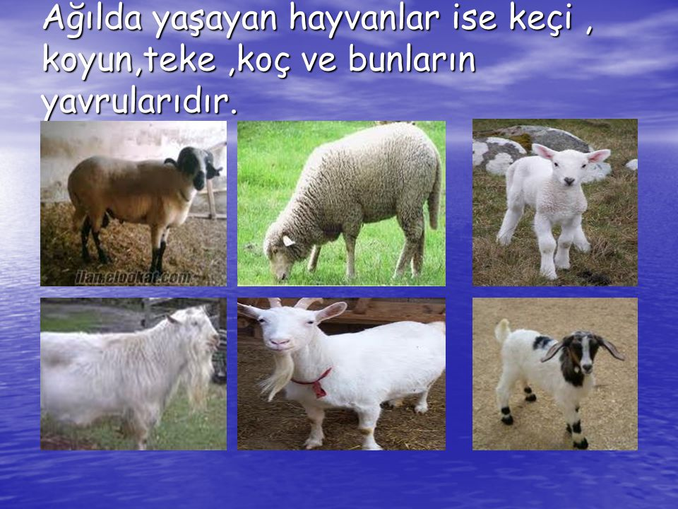 Ağılda yaşayan hayvanlar ise keçi, koyun,teke,koç ve bunların yavrularıdır.