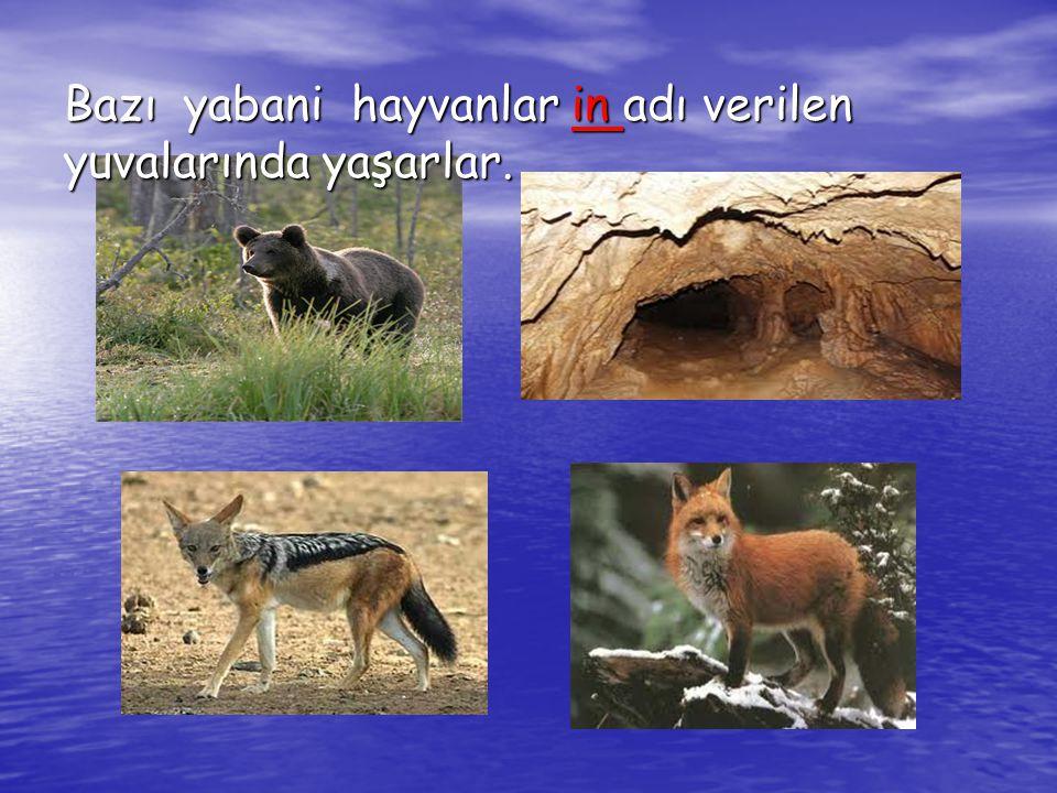 Bazı yabani hayvanlar in adı verilen yuvalarında yaşarlar.