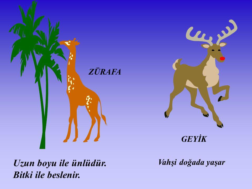ZÜRAFA Uzun boyu ile ünlüdür. Bitki ile beslenir. GEYİK Vahşi doğada yaşar