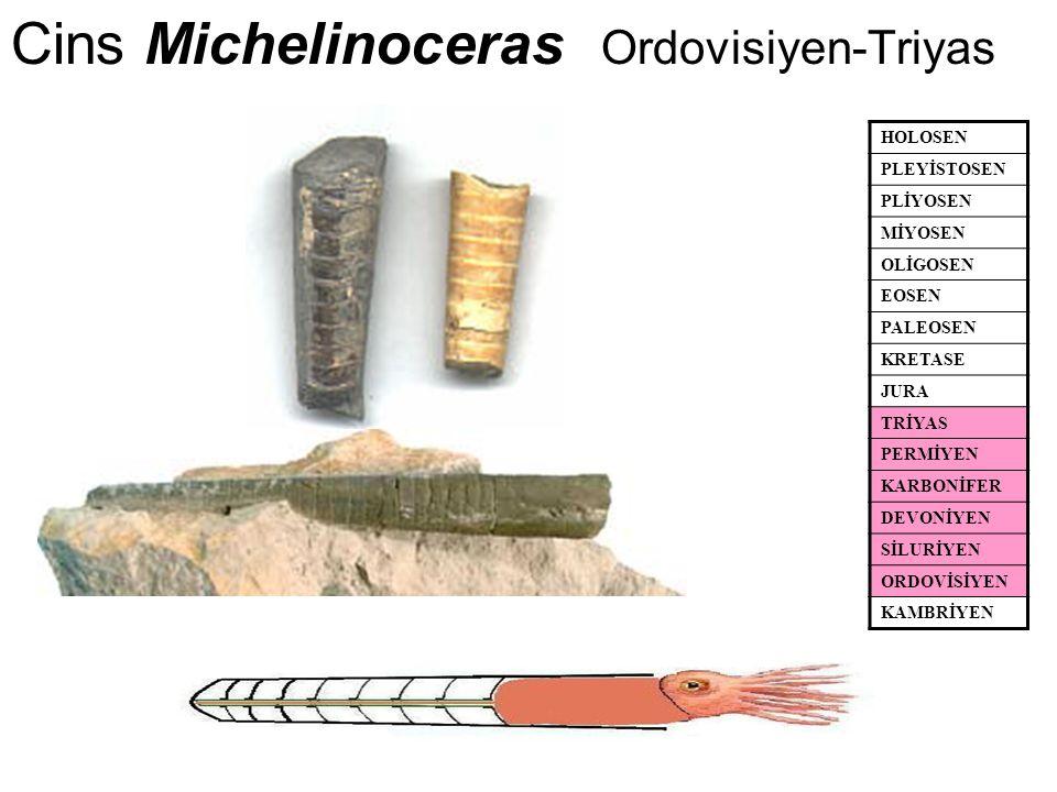 Cins Michelinoceras Ordovisiyen-Triyas HOLOSEN PLEYİSTOSEN PLİYOSEN MİYOSEN OLİGOSEN EOSEN PALEOSEN KRETASE JURA TRİYAS PERMİYEN KARBONİFER DEVONİYEN