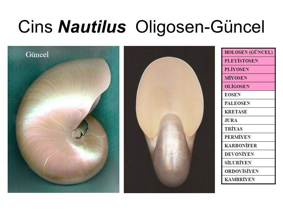 Cins Nautilus Oligosen-Güncel HOLOSEN (GÜNCEL) PLEYİSTOSEN PLİYOSEN MİYOSEN OLİGOSEN EOSEN PALEOSEN KRETASE JURA TRİYAS PERMİYEN KARBONİFER DEVONİYEN