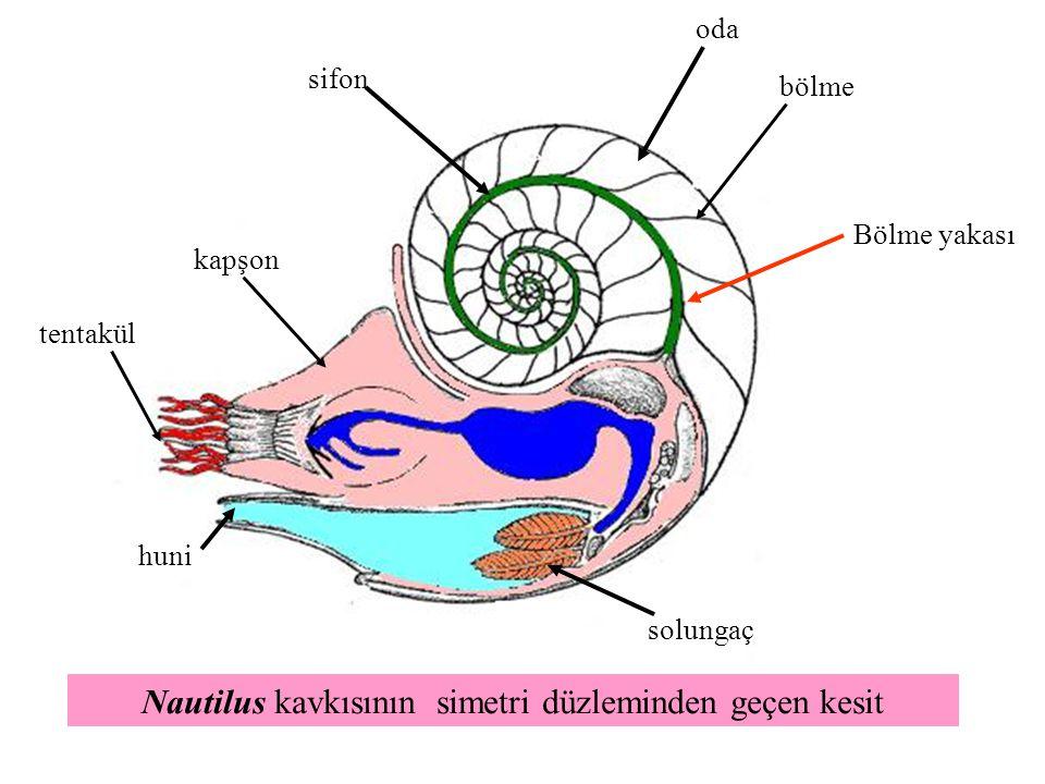 kapşon tentakül Bölme yakası bölme sifon huni solungaç oda Nautilus kavkısının simetri düzleminden geçen kesit