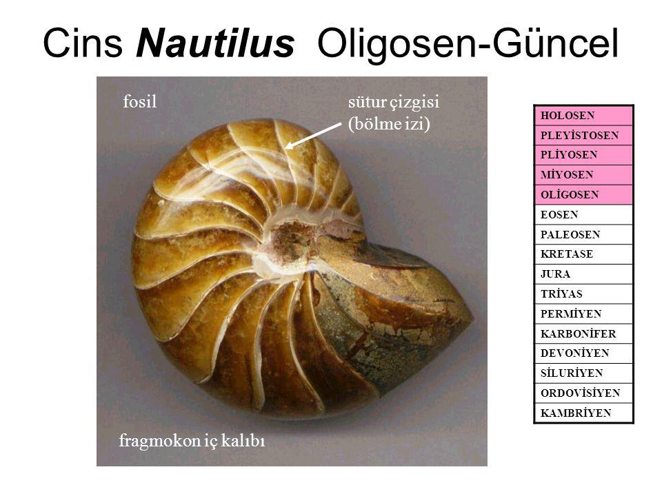 Cins Nautilus Oligosen-Güncel HOLOSEN PLEYİSTOSEN PLİYOSEN MİYOSEN OLİGOSEN EOSEN PALEOSEN KRETASE JURA TRİYAS PERMİYEN KARBONİFER DEVONİYEN SİLURİYEN