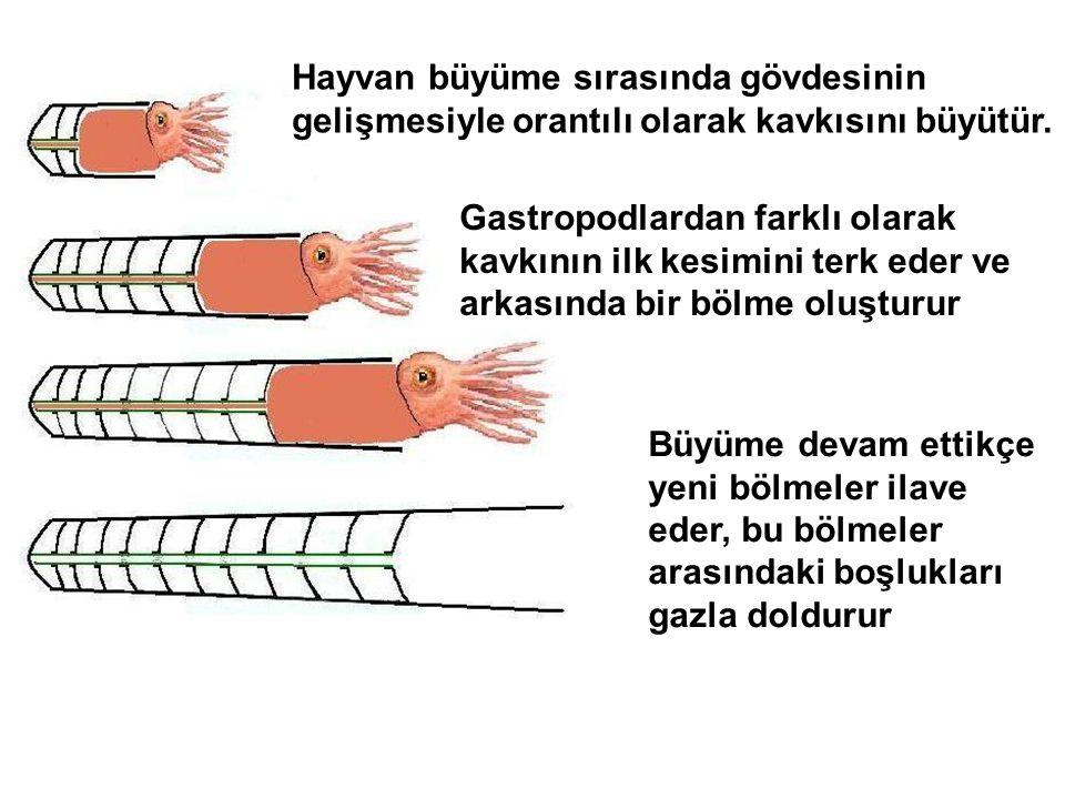Hayvan büyüme sırasında gövdesinin gelişmesiyle orantılı olarak kavkısını büyütür. Gastropodlardan farklı olarak kavkının ilk kesimini terk eder ve ar