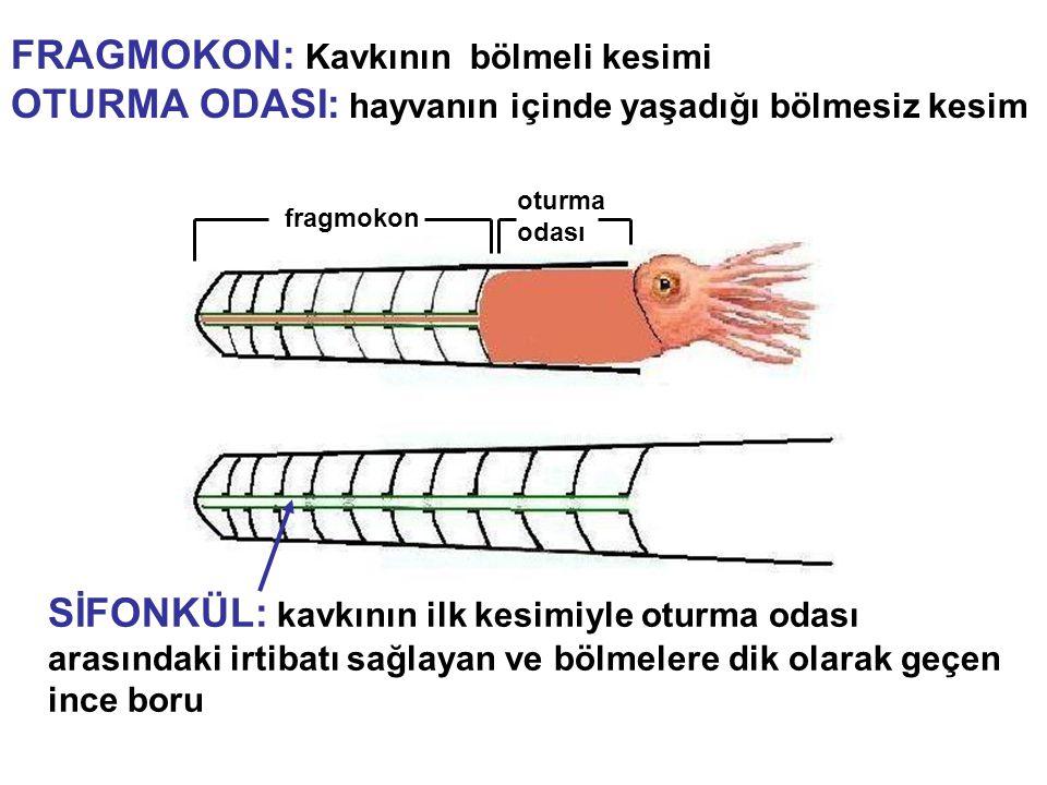 güncel örnek Cins Nautilus Oligosen-Güncel