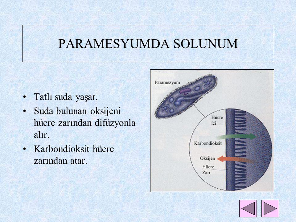 TEK HÜCRELİLERDE SOLUNUM TEK HÜCRELİLER *Hücre zarıyla dış ortamdan ayrılırlar. *Birçoğu suda yaşar. Örneğin;Paramesyum,amip,öglena *Oksijeni yaşadıkl