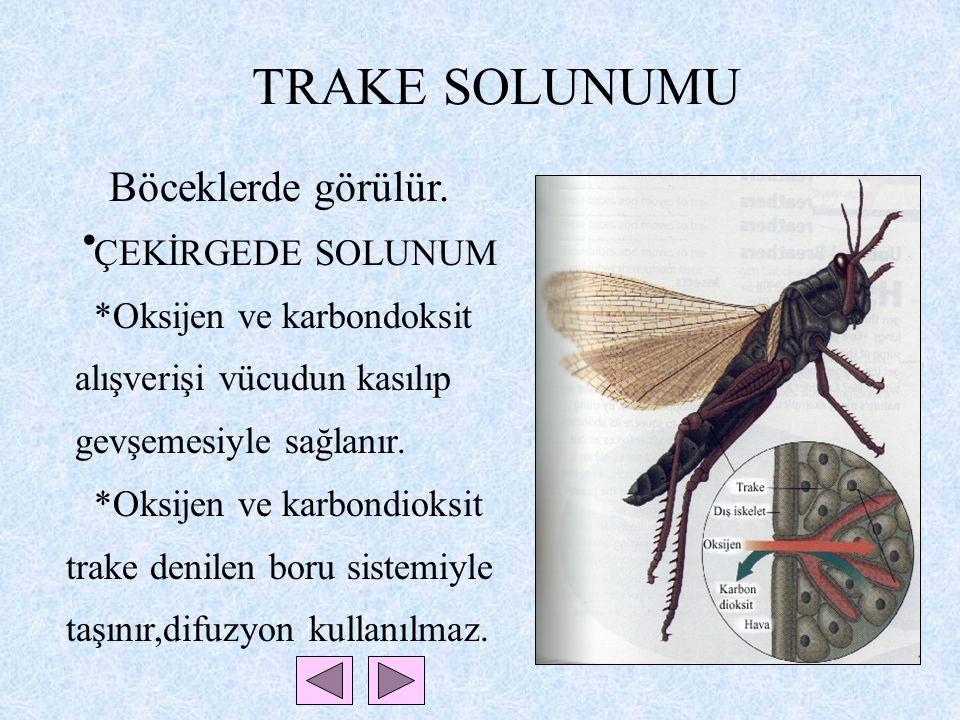 Solungaç Solunumu Suda yaşayan canlılar yapar BALIKLARDA SOLUNUM *Sudaki oksijeni ağız yoluyla alır. *Oksijen solungaçlardan difüzyon yoluyla kana geç
