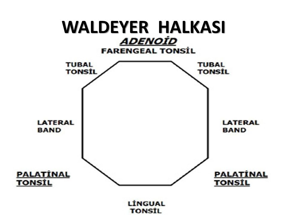 WALDEYER HALKASI