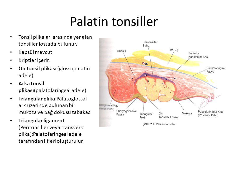 Palatin tonsiller Tonsil plikaları arasında yer alan tonsiller fossada bulunur.