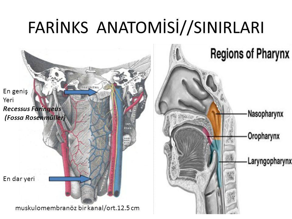 FARİNKS ANATOMİSİ//SINIRLARI muskulomembranöz bir kanal/ort.12.5 cm En dar yeri En geniş Yeri Recessus Faringeus (Fossa Rosenmüller)
