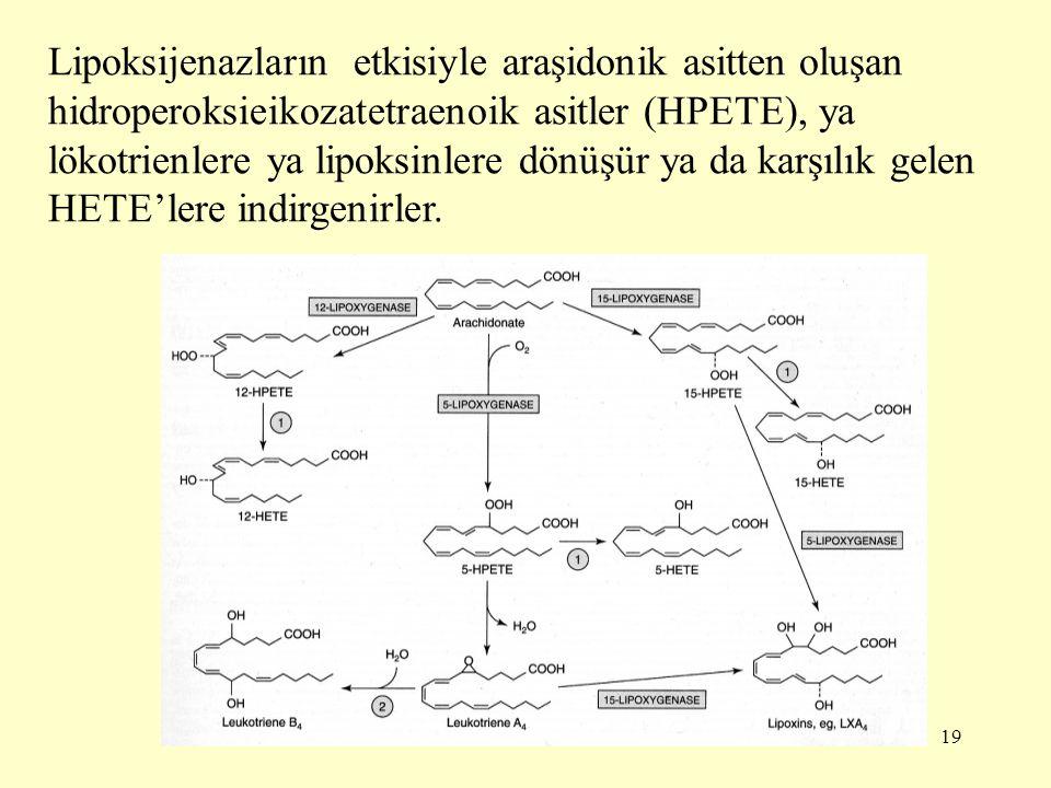 19 Lipoksijenazların etkisiyle araşidonik asitten oluşan hidroperoksieikozatetraenoik asitler (HPETE), ya lökotrienlere ya lipoksinlere dönüşür ya da