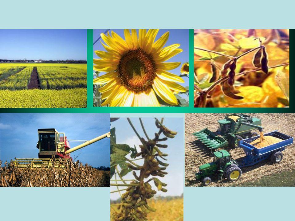 4.VERİM Kuru koşullarda ayçiçeği 100-150 kg/da, sulu koşullarda ise 250-400 kg/da ürün alınabilir.