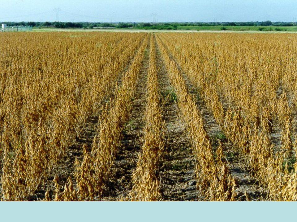 Enstitülerce yapılan araştırmalarda, Harran Ovası nda ana ürün yerfıstığında 330-340 kg/da, ikinci ürün koşullarında ise 210-220 kg/da kabuklu fıstık verimi elde edilmiştir.