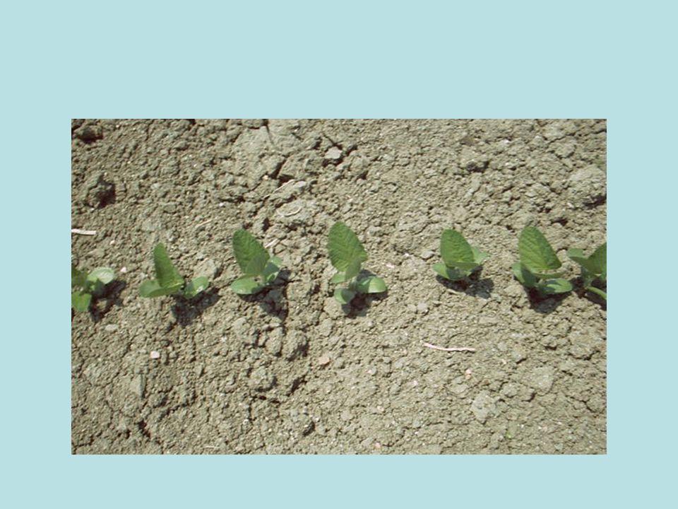 Baklagillerden olan yerfıstığı, meyvelerini toprak altında meydana getirmesiyle diğer bitkilerden farklılık gösterir.