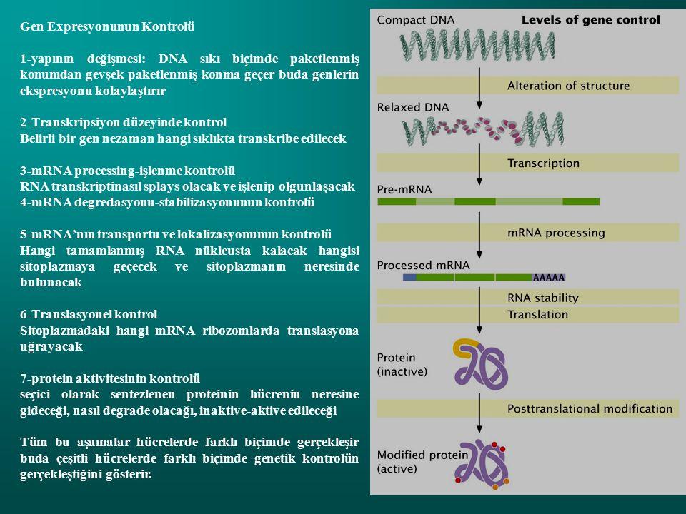 Gen Expresyonunun Kontrolü 1-yapının değişmesi: DNA sıkı biçimde paketlenmiş konumdan gevşek paketlenmiş konma geçer buda genlerin ekspresyonu kolaylaştırır 2-Transkripsiyon düzeyinde kontrol Belirli bir gen nezaman hangi sıklıkta transkribe edilecek 3-mRNA processing-işlenme kontrolü RNA transkriptinasıl splays olacak ve işlenip olgunlaşacak 4-mRNA degredasyonu-stabilizasyonunun kontrolü 5-mRNA'nın transportu ve lokalizasyonunun kontrolü Hangi tamamlanmış RNA nükleusta kalacak hangisi sitoplazmaya geçecek ve sitoplazmanın neresinde bulunacak 6-Translasyonel kontrol Sitoplazmadaki hangi mRNA ribozomlarda translasyona uğrayacak 7-protein aktivitesinin kontrolü seçici olarak sentezlenen proteinin hücrenin neresine gideceği, nasıl degrade olacağı, inaktive-aktive edileceği Tüm bu aşamalar hücrelerde farklı biçimde gerçekleşir buda çeşitli hücrelerde farklı biçimde genetik kontrolün gerçekleştiğini gösterir.