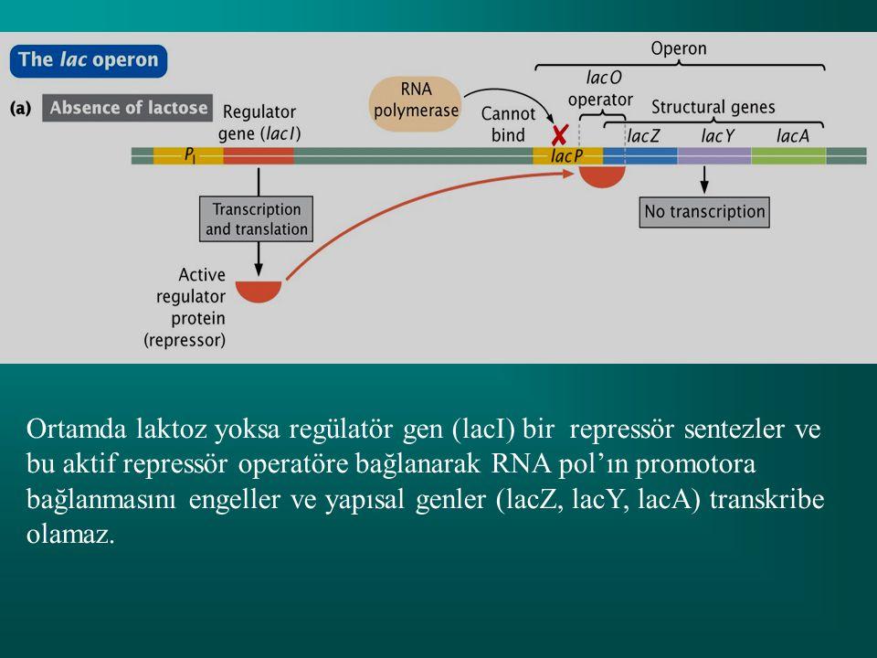 Ortamda laktoz yoksa regülatör gen (lacI) bir repressör sentezler ve bu aktif repressör operatöre bağlanarak RNA pol'ın promotora bağlanmasını engeller ve yapısal genler (lacZ, lacY, lacA) transkribe olamaz.