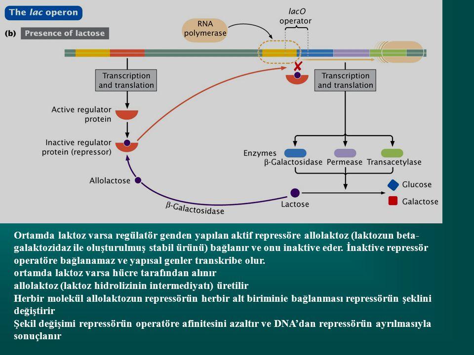 Ortamda laktoz varsa regülatör genden yapılan aktif repressöre allolaktoz (laktozun beta- galaktozidaz ile oluşturulmuş stabil ürünü) bağlanır ve onu